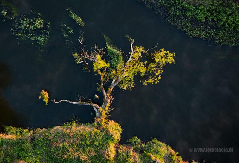 Drzewo na Drwęcy wisoną