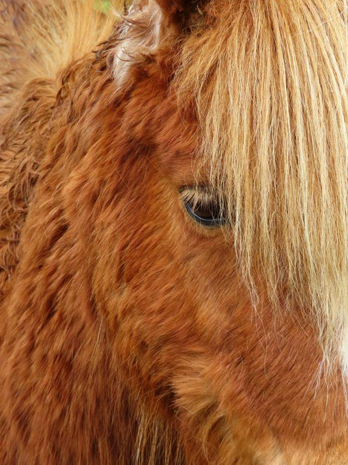 powershot-sx740-hs-sample-textures-highland-pony-portrait_328675327359775