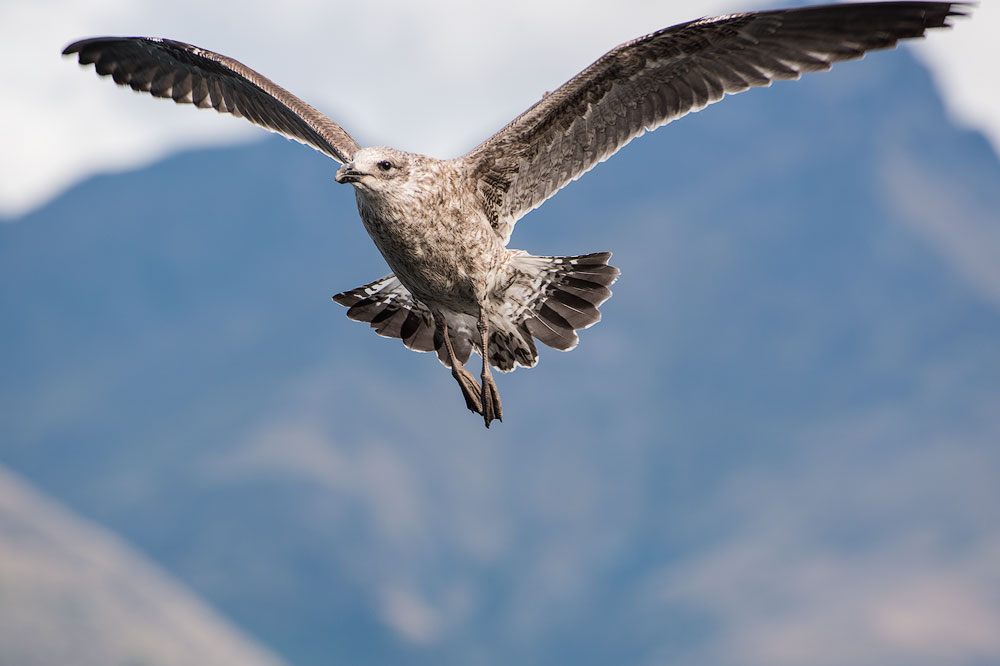 seagull-in-flight-mountains
